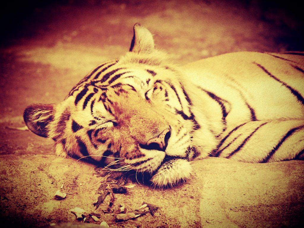 tiger-1551859_1280